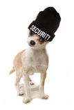 Chihuahua security Royalty Free Stock Photos