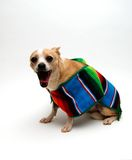 Chihuahua with a Serape Royalty Free Stock Image