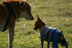 Chihuahua and Shiba Inu. Chihuahua dog and Shiba Inu playing in the grassplot Stock Photo