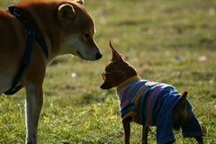 Chihuahua and Shiba Inu Stock Photo