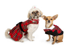 Chihuahua and ShihTzu Dressed for Christmas Royalty Free Stock Photo