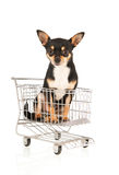Chihuahua in shopping cart isolated over white background Stock Photos