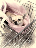 Chihuahua in shopping trolley. A cute Chihuahua in a pink handbag, sitting in a shopping trolley Stock Image