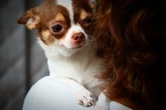 Chihuahua on the shoulder Royalty Free Stock Image