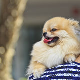 Chihuahua on shoulder Stock Photography