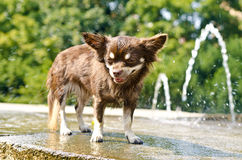 Chihuahua shower Stock Photography