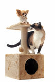 Chihuahua and siamese cat Stock Images