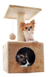 Chihuahua and siamese cat Royalty Free Stock Photography