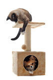 Chihuahua and siamese cat. Purebred chihuahua and siamese cat on a scratching post Stock Image
