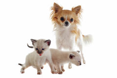 Chihuahua and siamese kitten Royalty Free Stock Image