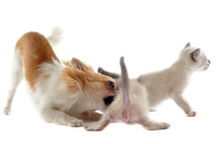 Chihuahua and siamese kitten Royalty Free Stock Photos