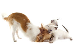 Chihuahua and siamese kitten Stock Photography