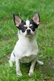 Chihuahua sits on the grass Royalty Free Stock Images