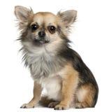 Chihuahua sitting Stock Image