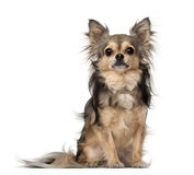 Chihuahua sitting Royalty Free Stock Image