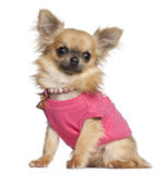 Chihuahua sitting Royalty Free Stock Photography