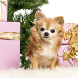 Chihuahua sitting Royalty Free Stock Photos