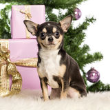 Chihuahua sitting Stock Photo