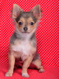 Chihuahua sitting against red polka-dot background. Adorable chihuahua puppy sitting against red and white polka-dot background Royalty Free Stock Images
