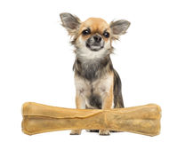 Chihuahua sitting behind knuckle bone Royalty Free Stock Photos