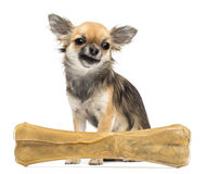 Chihuahua sitting behind knuckle bone Stock Photography