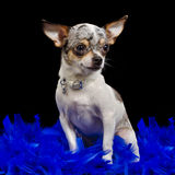 Chihuahua sitting in blue feathers Stock Photo