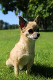 Chihuahua sitting Royalty Free Stock Photo