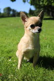 Chihuahua sitting Stock Images