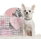 Chihuahua sitting with Christmas gifts Stock Image