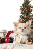 Chihuahua sitting beside a christmas tree Royalty Free Stock Image