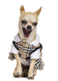 Chihuahua sitting, dressed and yawning Royalty Free Stock Photos