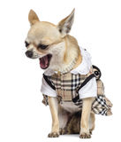 Chihuahua sitting, dressed and yawning Royalty Free Stock Images