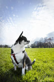Chihuahua sitting in field Stock Image