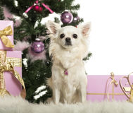 Chihuahua sitting in front of Christmas decorations Royalty Free Stock Image