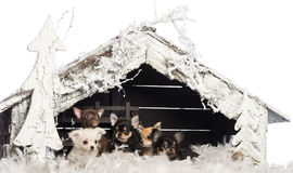 Chihuahua sitting in front of Christmas nativity Royalty Free Stock Photography