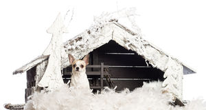 Chihuahua sitting in front of Christmas nativity Stock Image