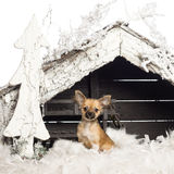 Chihuahua sitting in front of Christmas nativity Royalty Free Stock Photos