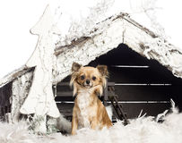 Chihuahua sitting in front of Christmas nativity Stock Images