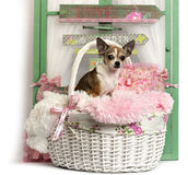 Chihuahua sitting in front of a rustic background Royalty Free Stock Images