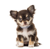 Chihuahua sitting Stock Photography