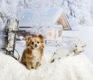 Chihuahua sitting on fur rug in winter scene, portrait. Chihuahua sitting on fur rug in winter scene Stock Images