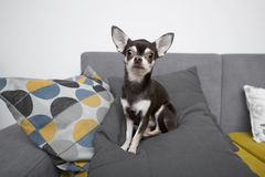 Chihuahua sitting on grey sofa Stock Photos