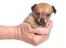 Chihuahua sitting in hand Stock Photography