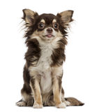 Chihuahua, Stock Images