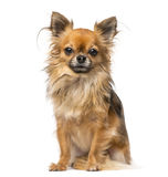 Chihuahua. Sitting isolated on white Stock Image