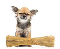Chihuahua sitting with its eyes closed. Behind knuckle bone against white background stock image