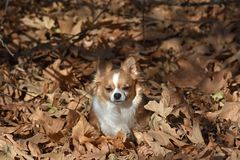 Chihuahua sitting in the leaves stock images