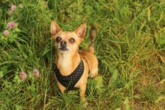 Chihuahua sitting and looking longingly up royalty free stock image