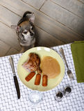 Chihuahua sitting and looking up at food on table Stock Image