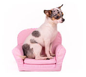 Chihuahua sitting in a pink armchair. Studio shot Royalty Free Stock Photo